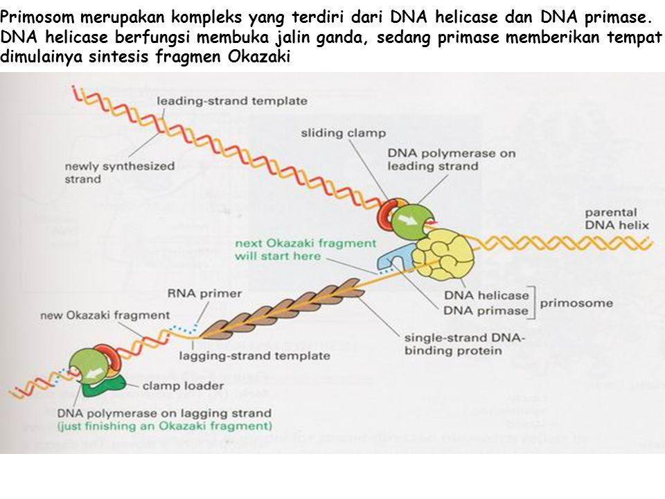 Primosom merupakan kompleks yang terdiri dari DNA helicase dan DNA primase. DNA helicase berfungsi membuka jalin ganda, sedang primase memberikan temp