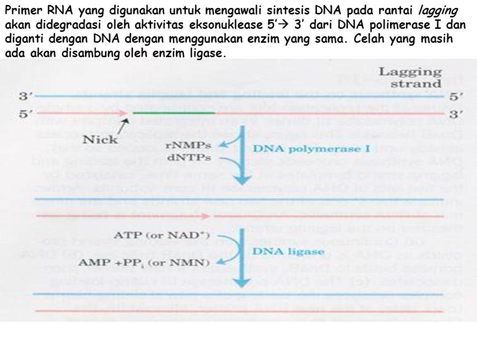 Primer RNA yang digunakan untuk mengawali sintesis DNA pada rantai lagging akan didegradasi oleh aktivitas eksonuklease 5'  3' dari DNA polimerase I