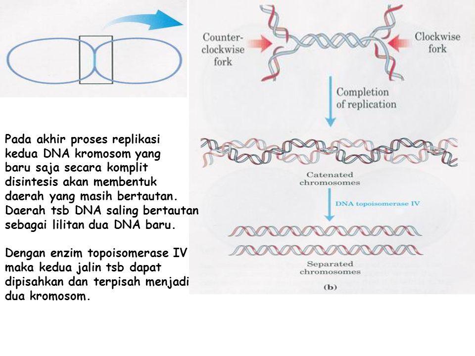 Pada akhir proses replikasi kedua DNA kromosom yang baru saja secara komplit disintesis akan membentuk daerah yang masih bertautan. Daerah tsb DNA sal