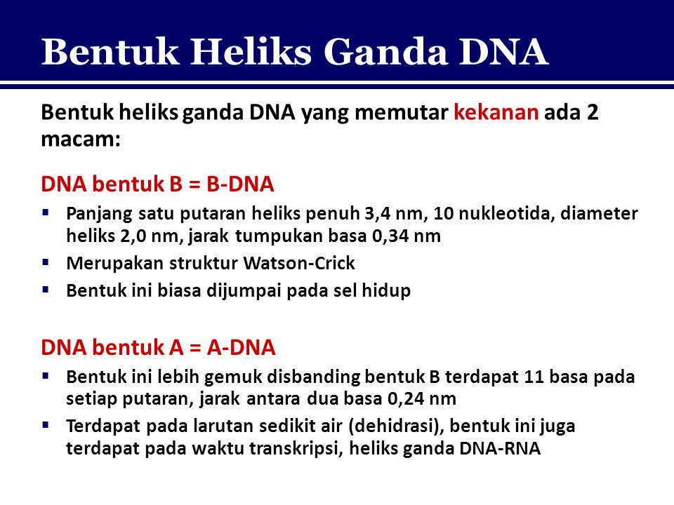 Bentuk Heliks Ganda DNA Bentuk heliks ganda DNA yang memutar kekanan ada 2 macam: DNA bentuk B = B-DNA  Panjang satu putaran heliks penuh 3,4 nm, 10