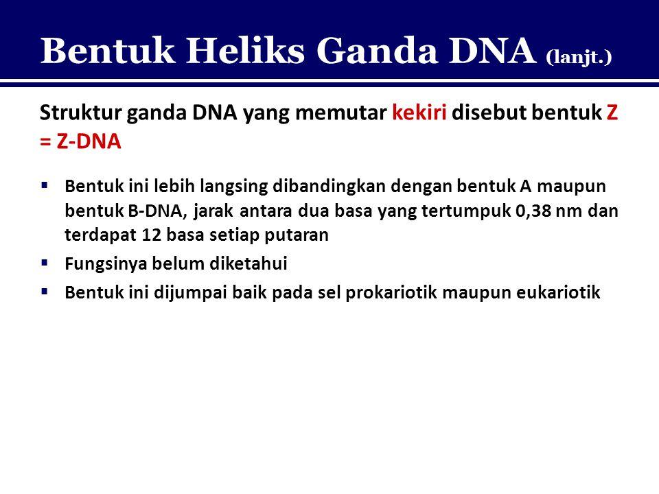 Bentuk Heliks Ganda DNA (lanjt.) Struktur ganda DNA yang memutar kekiri disebut bentuk Z = Z-DNA  Bentuk ini lebih langsing dibandingkan dengan bentu