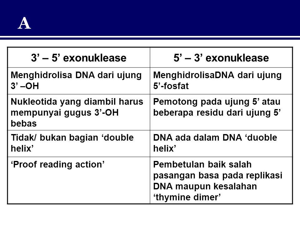 A 3' – 5' exonuklease5' – 3' exonuklease Menghidrolisa DNA dari ujung 3' –OH MenghidrolisaDNA dari ujung 5'-fosfat Nukleotida yang diambil harus mempu