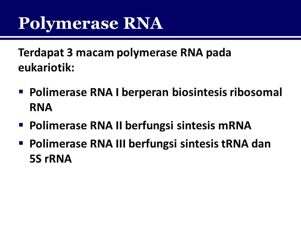 Polymerase RNA Terdapat 3 macam polymerase RNA pada eukariotik:  Polimerase RNA I berperan biosintesis ribosomal RNA  Polimerase RNA II berfungsi si