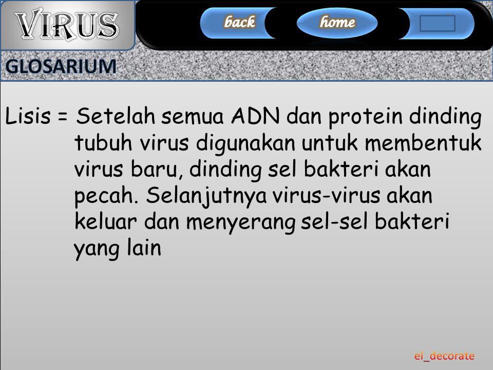 Lisis = Setelah semua ADN dan protein dinding tubuh virus digunakan untuk membentuk virus baru, dinding sel bakteri akan pecah. Selanjutnya virus-viru