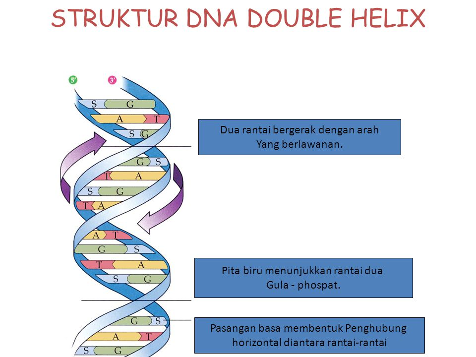 STRUKTUR DNA Merupakan struktur heliks ganda. Terpilin ke kanan. Satu nukleutida terdiri dari: 1.Gula deoksiribosa. 2.Basa nitrogen = purin : Adenin d