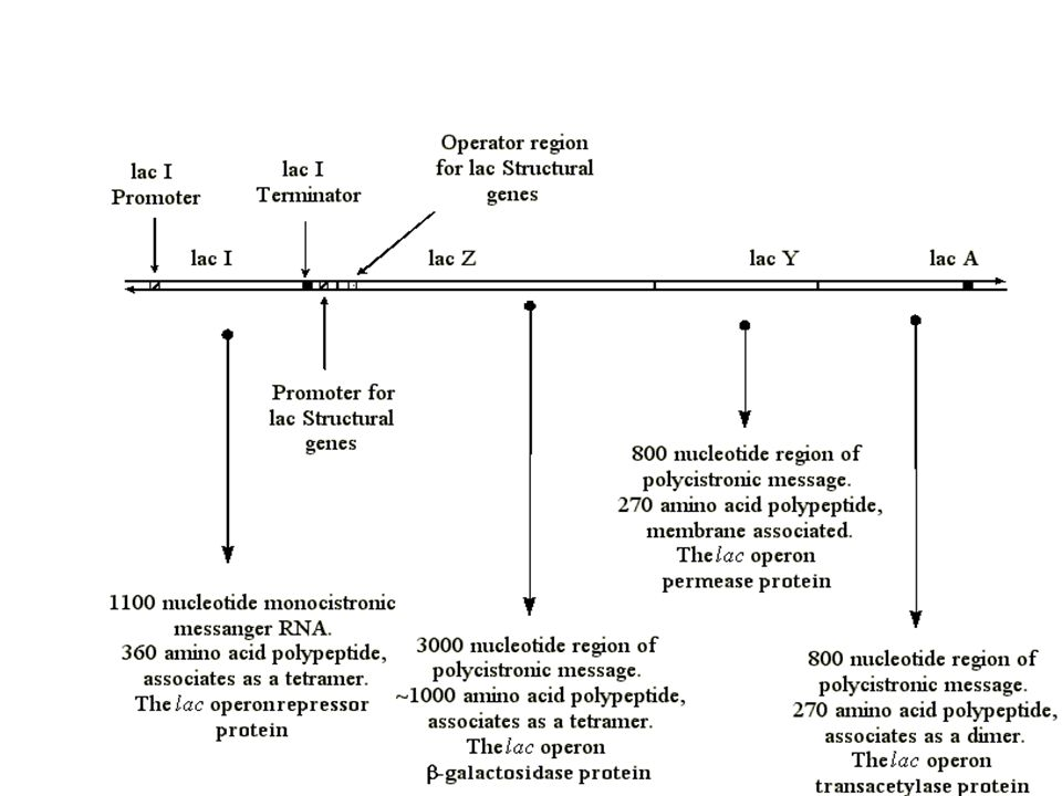 LANJUTAN UNSUR2 GENETIK PENGENDALI EKSPRESI GEN 2.P = PROMOTOR. Tanda mulai (start) untuk mensintesis RNA, pada tempat ini RNA polimerase mengikat dir