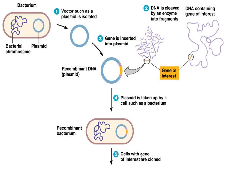 KLONING (2) Pengertian Kloning Gen : 1 Fragmen DNA diinsersikan pada DNA sirkuler sebagai vektor sbg. Wahana, 2 Vektor pembawa gen masuk ke dalam tuan