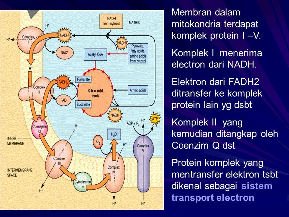 Membran dalam mitokondria terdapat komplek protein I –V. Komplek I menerima electron dari NADH. Elektron dari FADH2 ditransfer ke komplek protein lain