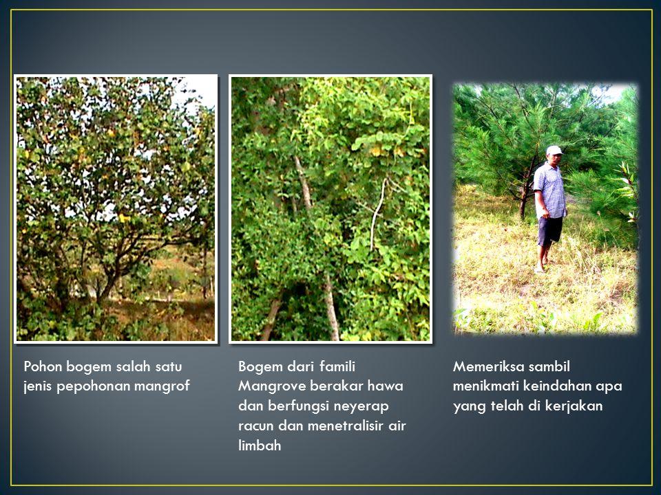Pohon bogem salah satu jenis pepohonan mangrof Bogem dari famili Mangrove berakar hawa dan berfungsi neyerap racun dan menetralisir air limbah Memeriksa sambil menikmati keindahan apa yang telah di kerjakan