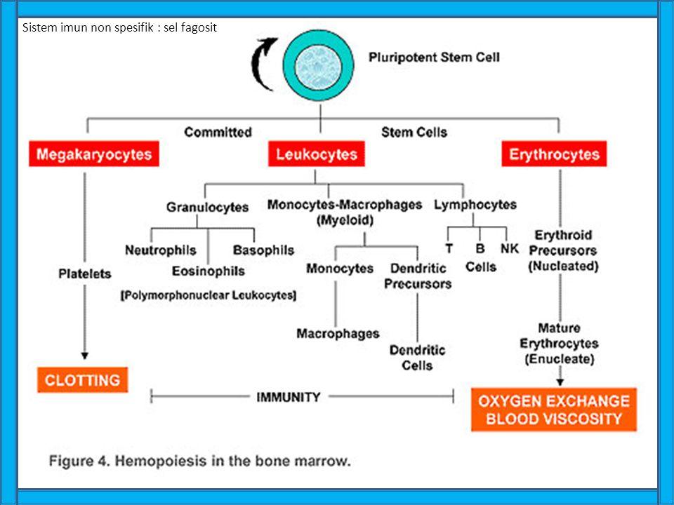 Sistem imun non spesifik : sel fagosit