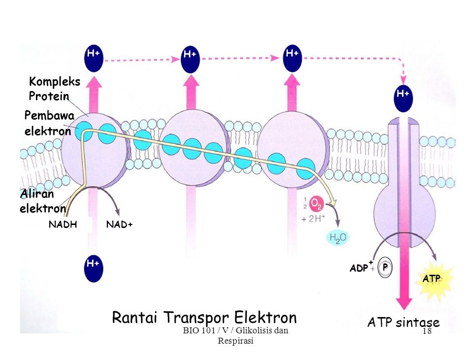 ATP sintase 18 Rantai Transpor Elektron BIO 101 / V / Glikolisis dan Respirasi Aliran elektron NADHNAD+ Kompleks Protein Pembawa elektron H+ ADP ATP P