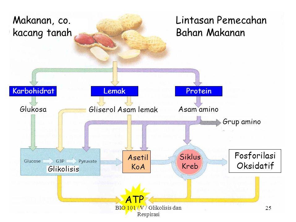 25 Lintasan Pemecahan Bahan Makanan Makanan, co. kacang tanah Fosforilasi Oksidatif Karbohidrat LemakProtein Glukosa Gliserol Asam lemak Asam amino Gr