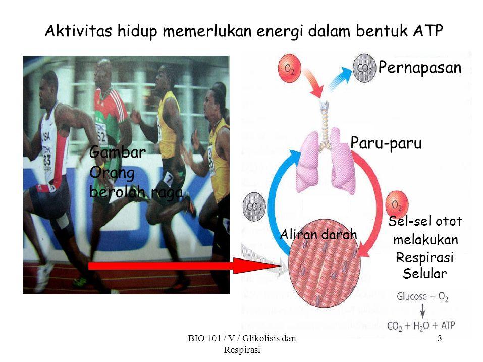 Gambar Orang berolah raga Aktivitas hidup memerlukan energi dalam bentuk ATP Pernapasan Paru-paru Aliran darah BIO 101 / V / Glikolisis dan Respirasi