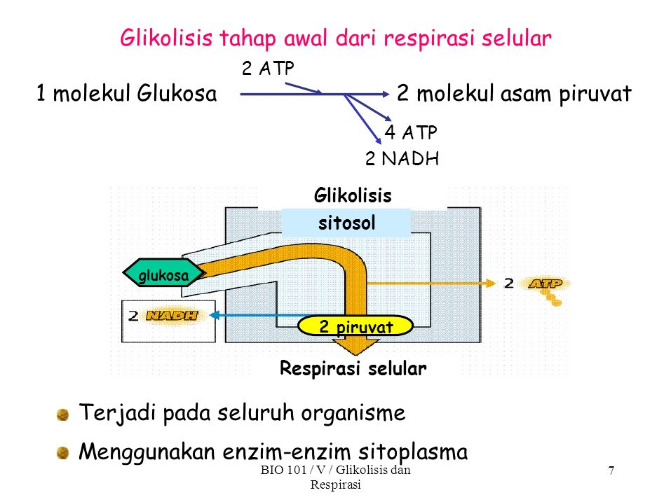 7 1 molekul Glukosa2 molekul asam piruvat 2 ATP Glikolisis tahap awal dari respirasi selular Menggunakan enzim-enzim sitoplasma BIO 101 / V / Glikolis