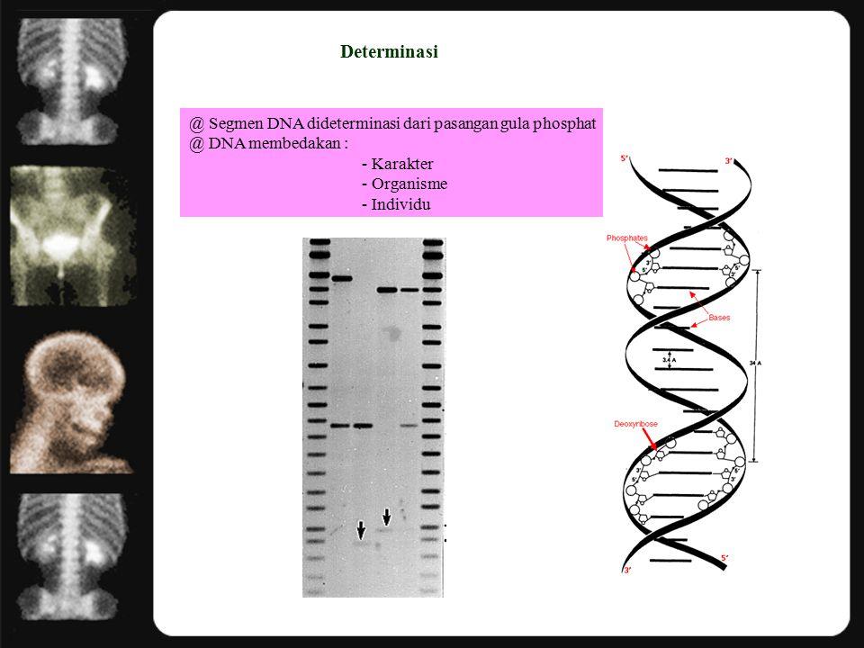 Determinasi @ Segmen DNA dideterminasi dari pasangan gula phosphat @ DNA membedakan : - Karakter - Organisme - Individu