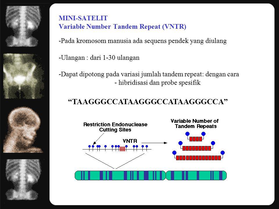 MINI-SATELIT Variable Number Tandem Repeat (VNTR) -Pada kromosom manusia ada sequens pendek yang diulang -Ulangan : dari 1-30 ulangan -Dapat dipotong pada variasi jumlah tandem repeat: dengan cara - hibridisasi dan probe spesifik TAAGGGCCATAAGGGCCATAAGGGCCA