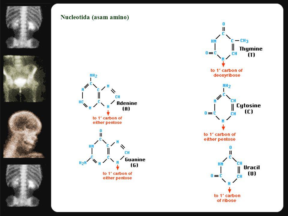 Nucleotida (asam amino)
