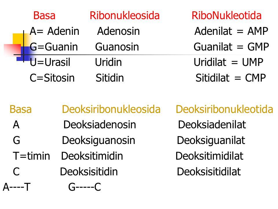 Basa Ribonukleosida RiboNukleotida A= Adenin Adenosin Adenilat = AMP G=Guanin Guanosin Guanilat = GMP U=Urasil Uridin Uridilat = UMP C=Sitosin Sitidin