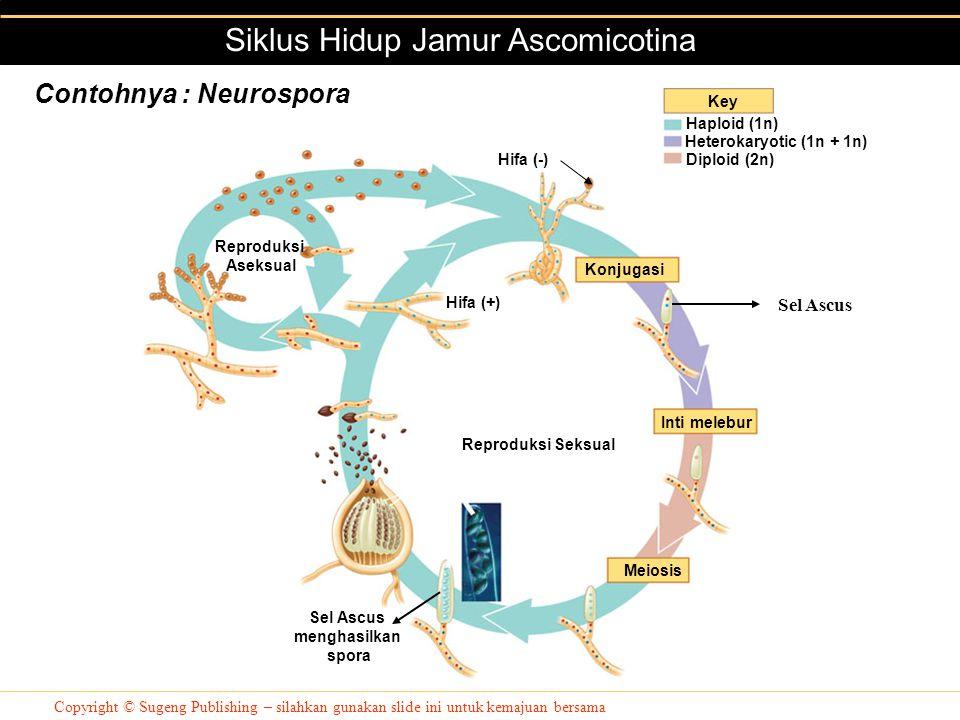Copyright © Sugeng Publishing – silahkan gunakan slide ini untuk kemajuan bersama Siklus Hidup Jamur Ascomicotina Key Konjugasi Inti melebur Meiosis C