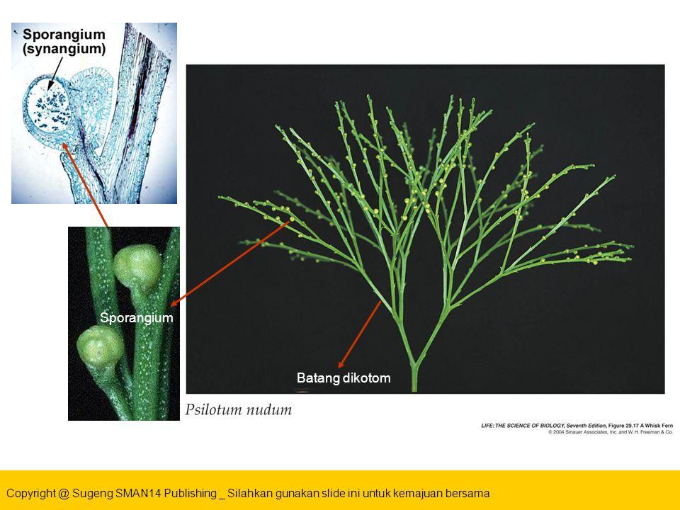 Copyright @ Sugeng SMAN14 Publishing _ Silahkan gunakan slide ini untuk kemajuan bersama Batang Batang dikotom Sporangium