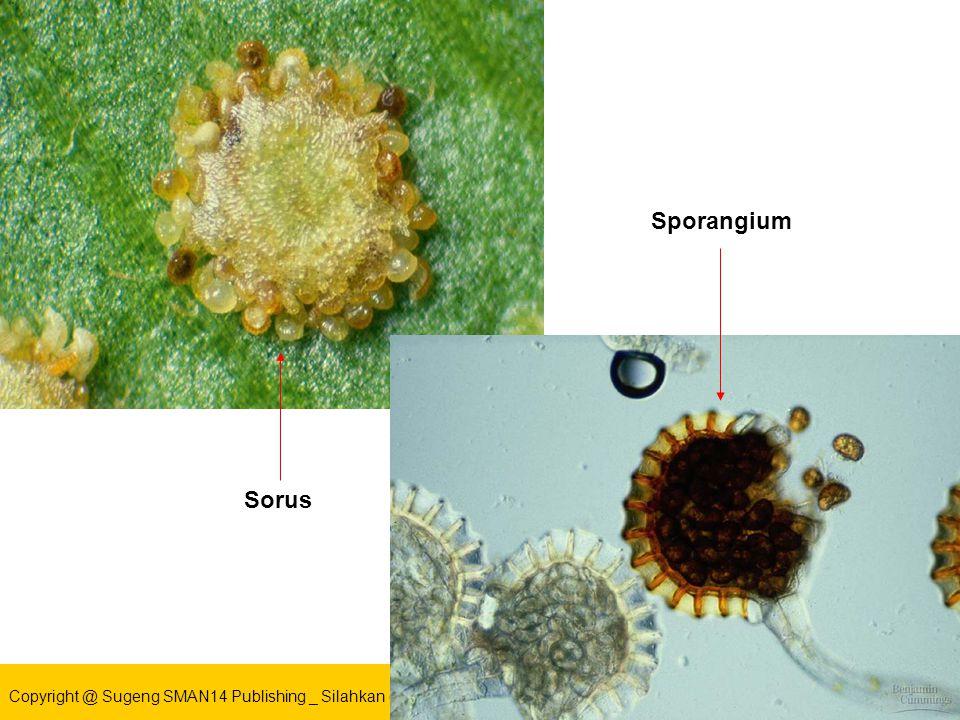 Copyright @ Sugeng SMAN14 Publishing _ Silahkan gunakan slide ini untuk kemajuan bersama Sporangium Sorus