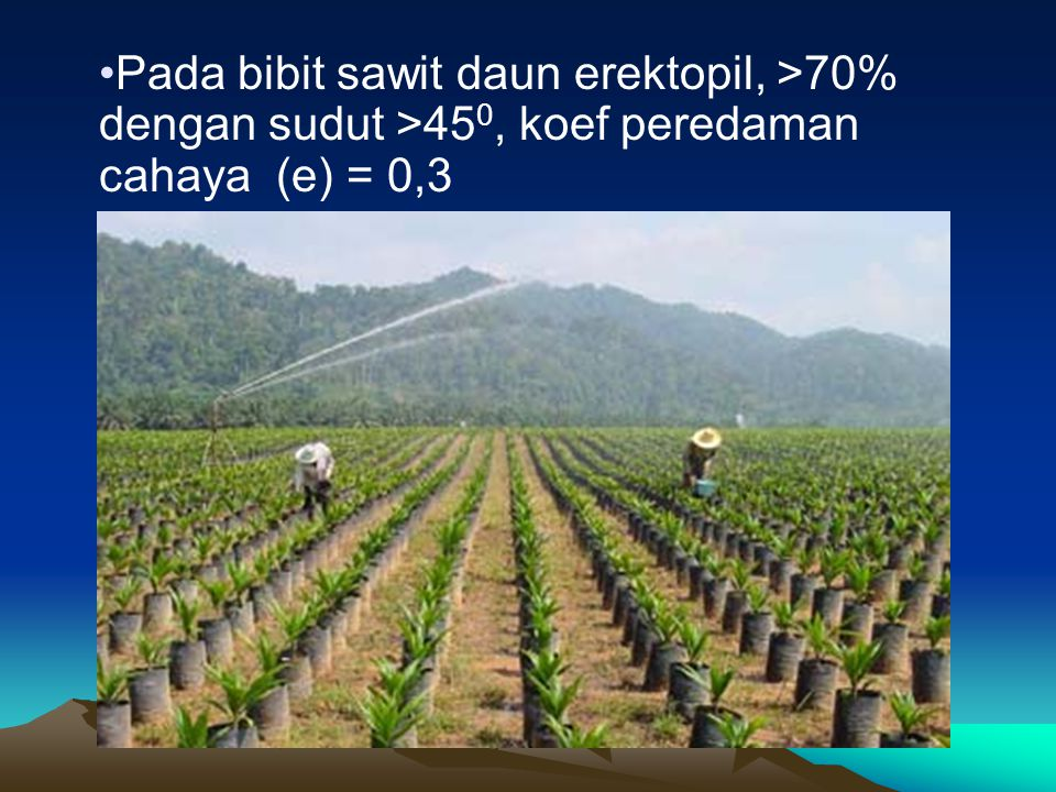 Pada bibit sawit daun erektopil, >70% dengan sudut >45 0, koef peredaman cahaya (e) = 0,3