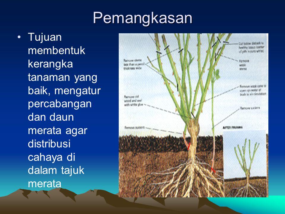 Pemangkasan Tujuan membentuk kerangka tanaman yang baik, mengatur percabangan dan daun merata agar distribusi cahaya di dalam tajuk merata