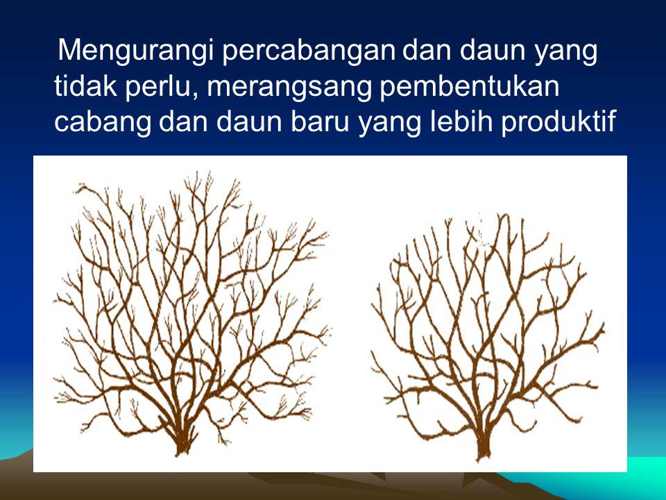Mengurangi percabangan dan daun yang tidak perlu, merangsang pembentukan cabang dan daun baru yang lebih produktif
