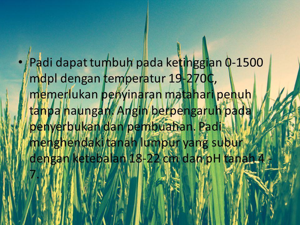 PENGERTIAN TANAMAN PADI Padi (bahasa latin: Oryza sativa L.) adalah salah satu tanaman budidaya terpenting dalam peradaban.