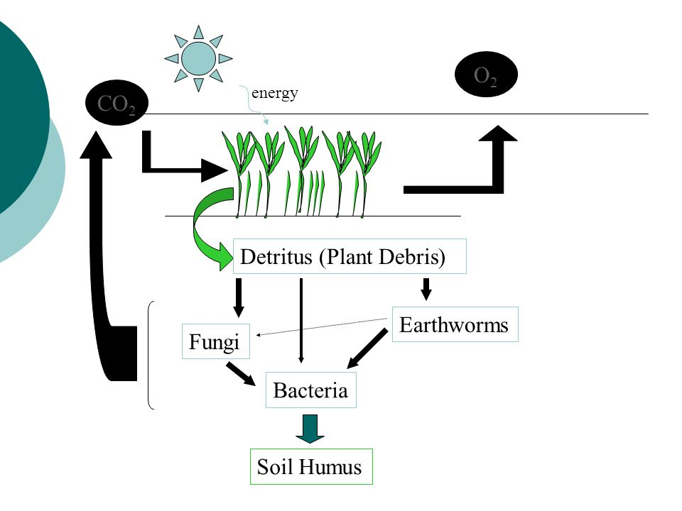 CO 2 O2O2 Detritus (Plant Debris) Fungi Earthworms Bacteria Soil Humus energy