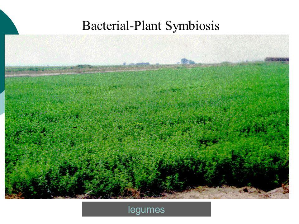 legumes Bacterial-Plant Symbiosis