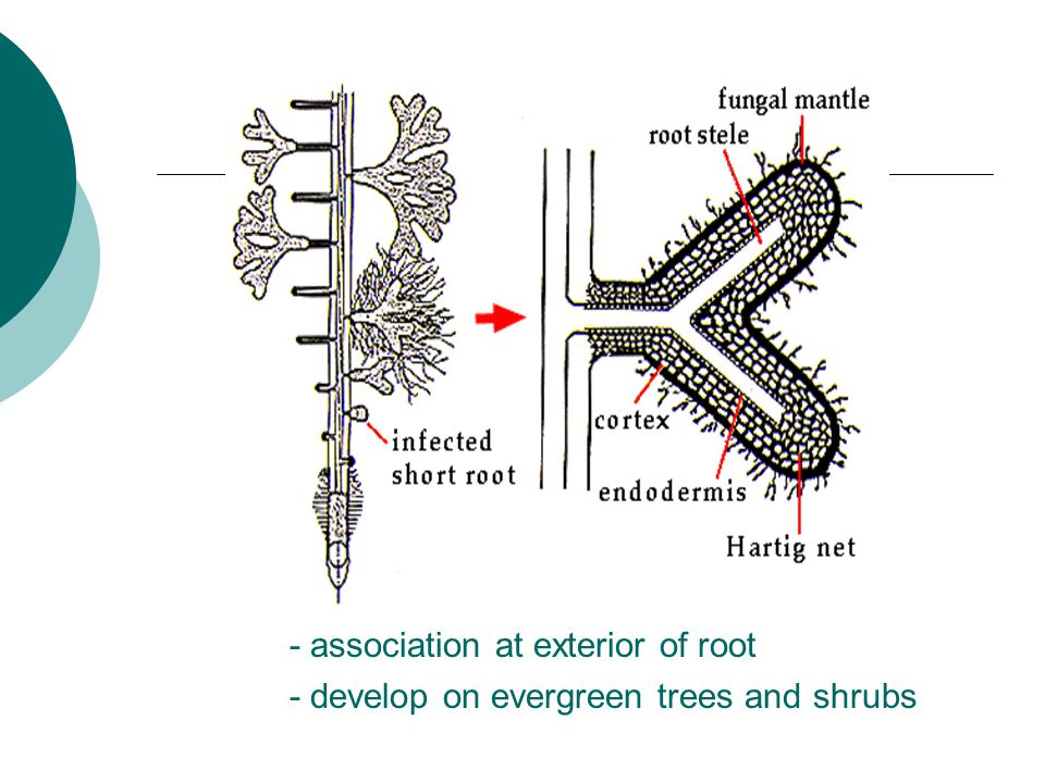 - association at exterior of root - develop on evergreen trees and shrubs