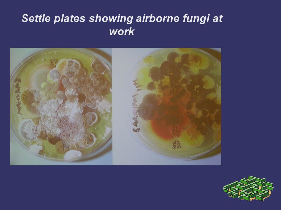 Settle plates showing airborne fungi at work