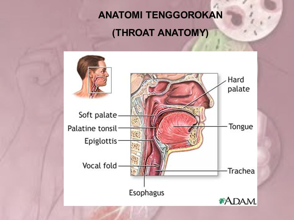 ANATOMI TENGGOROKAN (THROAT ANATOMY)