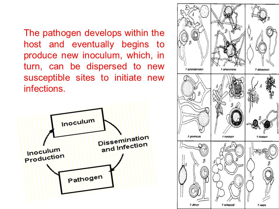 The pathogen develops within the host and eventually begins to produce new inoculum, which, in turn, can be dispersed to new susceptible sites to init
