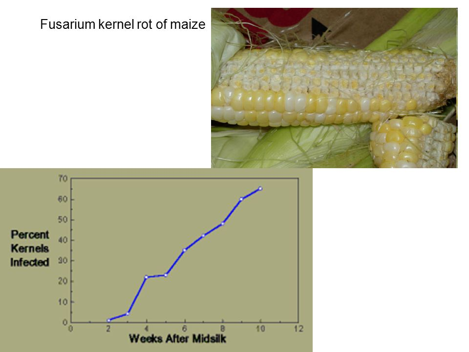 Fusarium kernel rot of maize