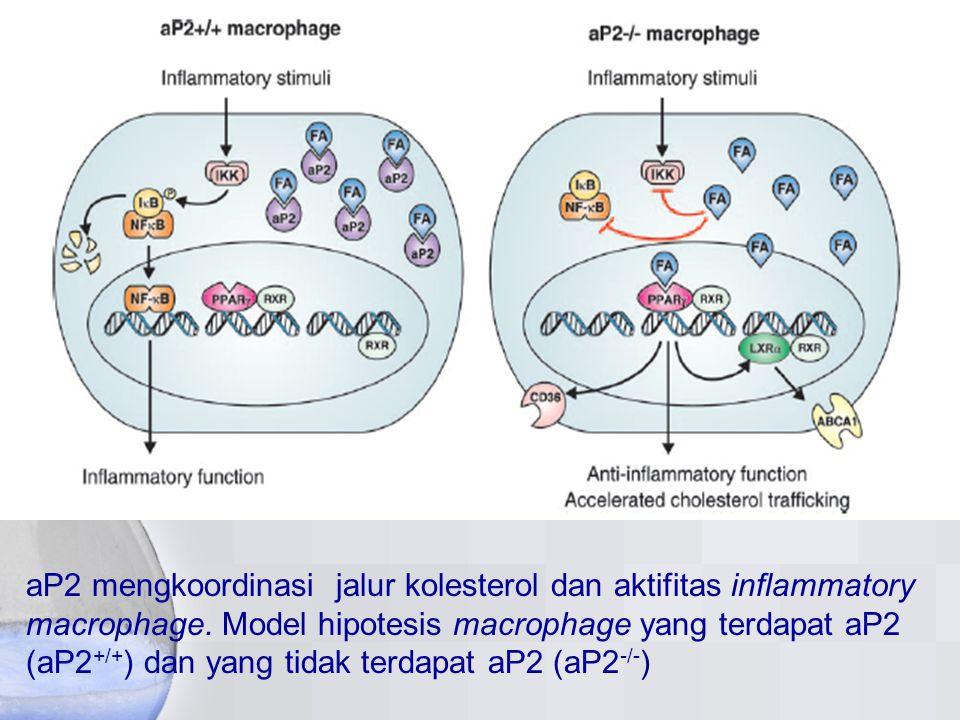 aP2 mengkoordinasi jalur kolesterol dan aktifitas inflammatory macrophage. Model hipotesis macrophage yang terdapat aP2 (aP2 +/+ ) dan yang tidak terd