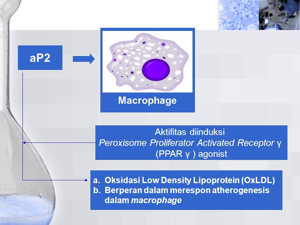aP2 Macrophage Aktifitas diinduksi Peroxisome Proliferator Activated Receptor γ (PPAR γ ) agonist a.Oksidasi Low Density Lipoprotein (OxLDL) b.Berpera