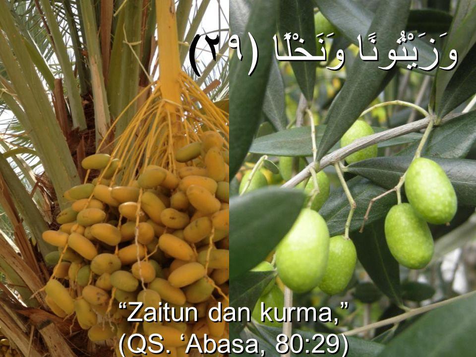"""(وَزَيْتُونًا وَنَخْلًا ﴿٢٩ """"Zaitun dan kurma,"""" (QS. 'Abasa, 80:29) """"Zaitun dan kurma,"""" (QS. 'Abasa, 80:29)"""