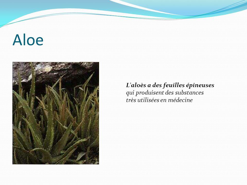 Aloe L aloès a des feuilles épineuses qui produisent des substances très utilisées en médecine