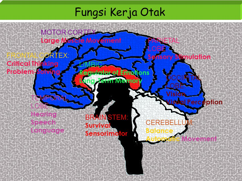 Fungsi Kerja Otak MOTOR CORTEX Large Muscle Movement FRONTAL CORTEX: Critical Thinking Problem-Solving LIMBIC: Regulator of Emotions Long-Term Memory