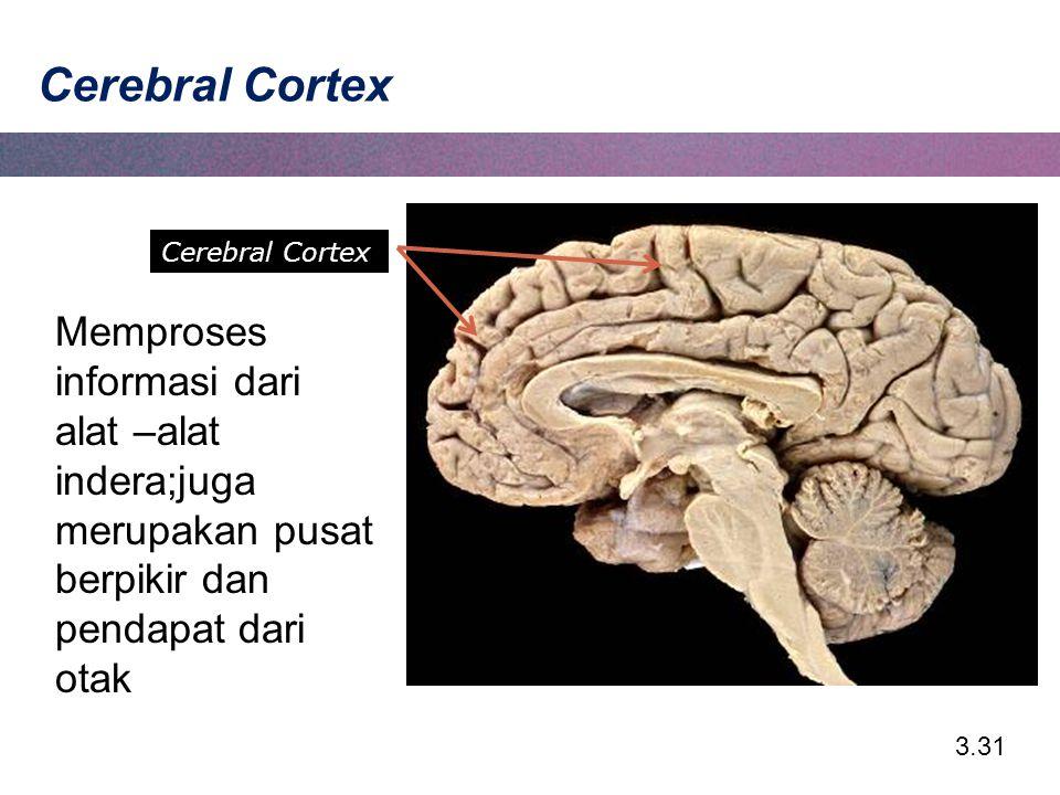 3.31 Cerebral Cortex Memproses informasi dari alat –alat indera;juga merupakan pusat berpikir dan pendapat dari otak Cerebral Cortex