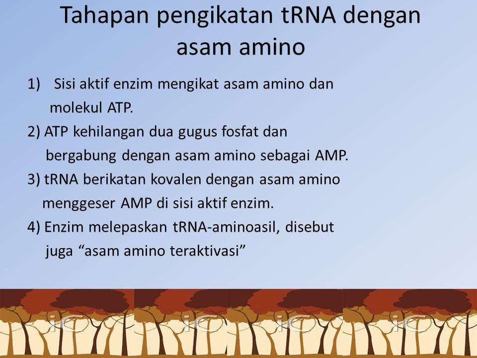 Tahapan pengikatan tRNA dengan asam amino 1)Sisi aktif enzim mengikat asam amino dan molekul ATP. 2) ATP kehilangan dua gugus fosfat dan bergabung den