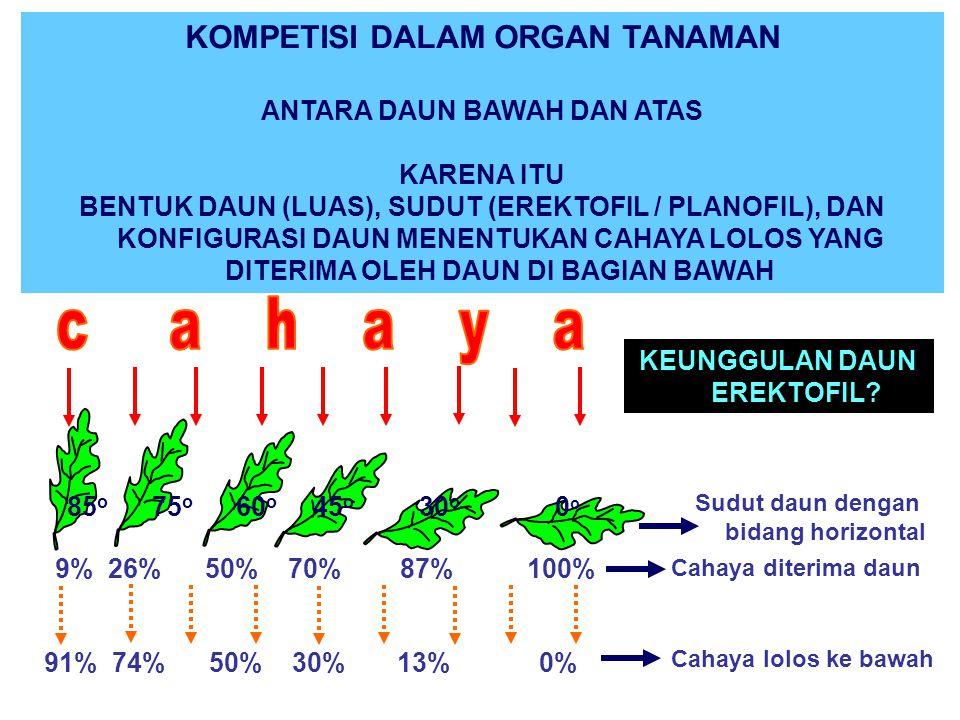 KOMPETISI DALAM ORGAN TANAMAN ANTARA DAUN BAWAH DAN ATAS KARENA ITU BENTUK DAUN (LUAS), SUDUT (EREKTOFIL / PLANOFIL), DAN KONFIGURASI DAUN MENENTUKAN CAHAYA LOLOS YANG DITERIMA OLEH DAUN DI BAGIAN BAWAH 91% 74% 50% 30% 13% 0% 85 o 75 o 60 o 45 o 30 o 0 o 9% 26% 50% 70% 87% 100% KEUNGGULAN DAUN EREKTOFIL.