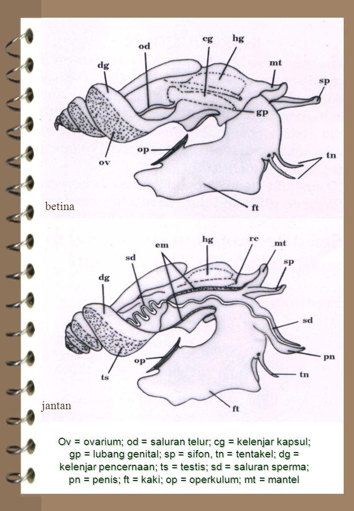 betina jantan Ov = ovarium; od = saluran telur; cg = kelenjar kapsul; gp = lubang genital; sp = sifon, tn = tentakel; dg = kelenjar pencernaan; ts = t