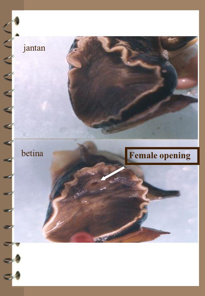 jantan betina Female opening jantan betina