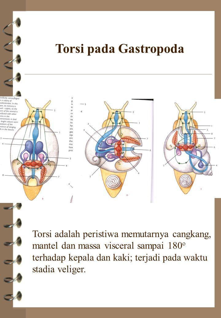 Torsi pada Gastropoda Torsi adalah peristiwa memutarnya cangkang, mantel dan massa visceral sampai 180 o terhadap kepala dan kaki; terjadi pada waktu