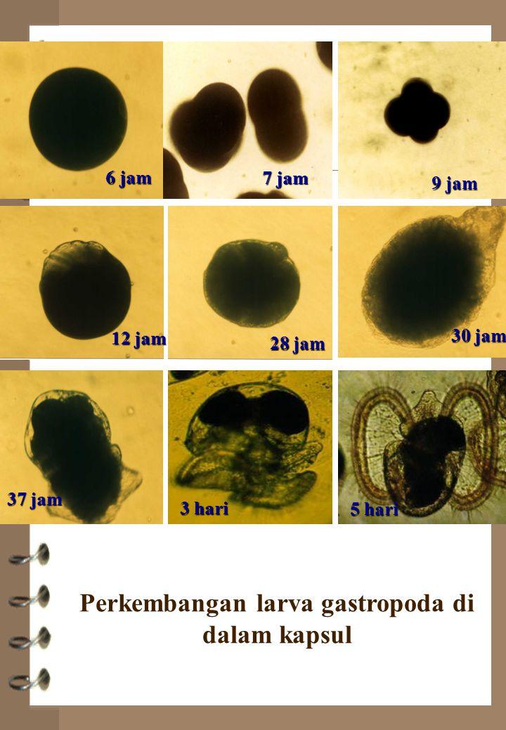 6 jam 7 jam 9 jam 12 jam 28 jam 30 jam 37 jam 3 hari 5 hari Perkembangan larva gastropoda di dalam kapsul
