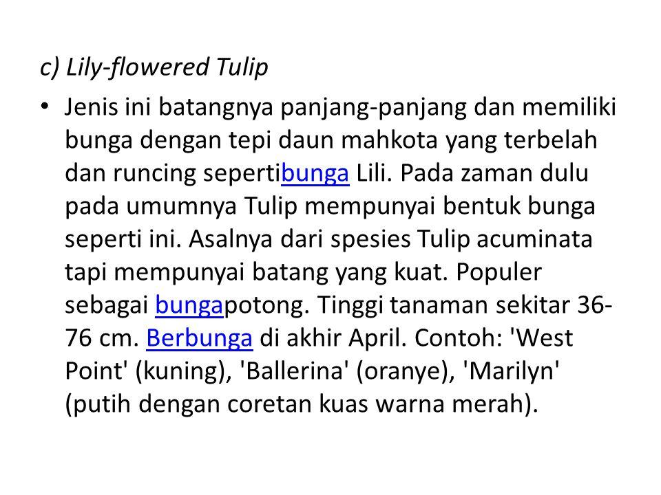 c) Lily-flowered Tulip Jenis ini batangnya panjang-panjang dan memiliki bunga dengan tepi daun mahkota yang terbelah dan runcing sepertibunga Lili. Pa