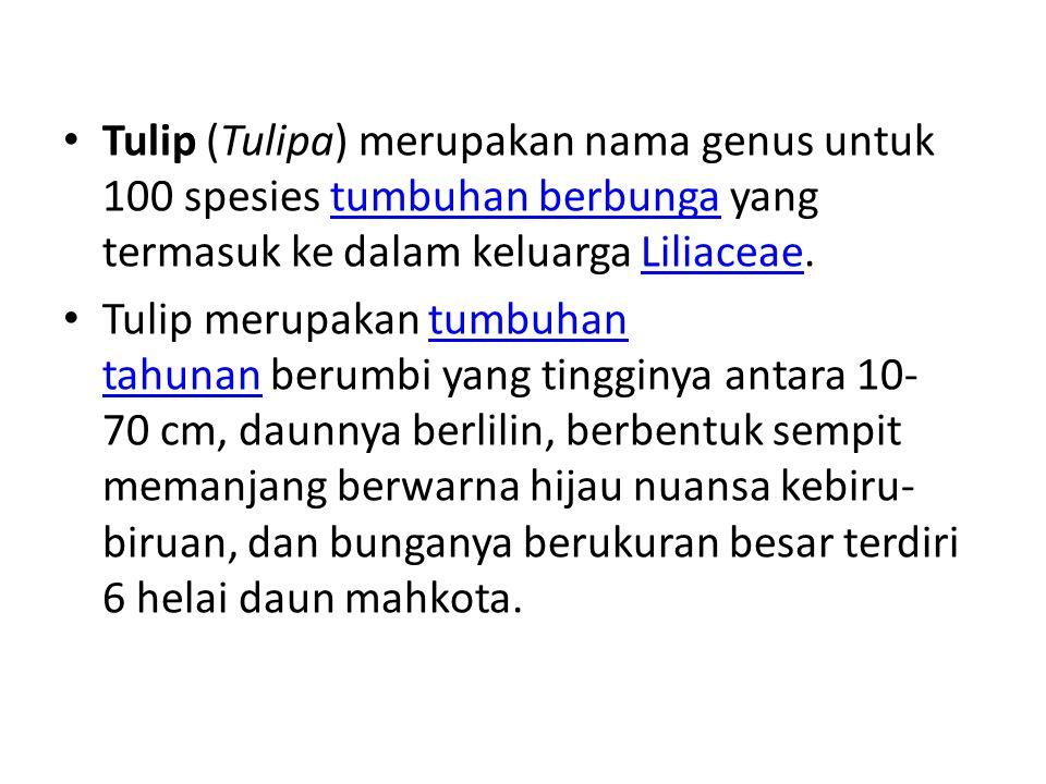 Tulip (Tulipa) merupakan nama genus untuk 100 spesies tumbuhan berbunga yang termasuk ke dalam keluarga Liliaceae. tumbuhan berbungaLiliaceae Tulip me